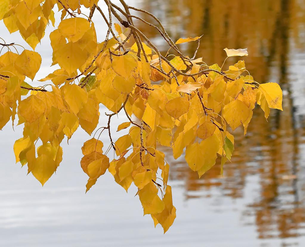 Golden Leaves of Autumn