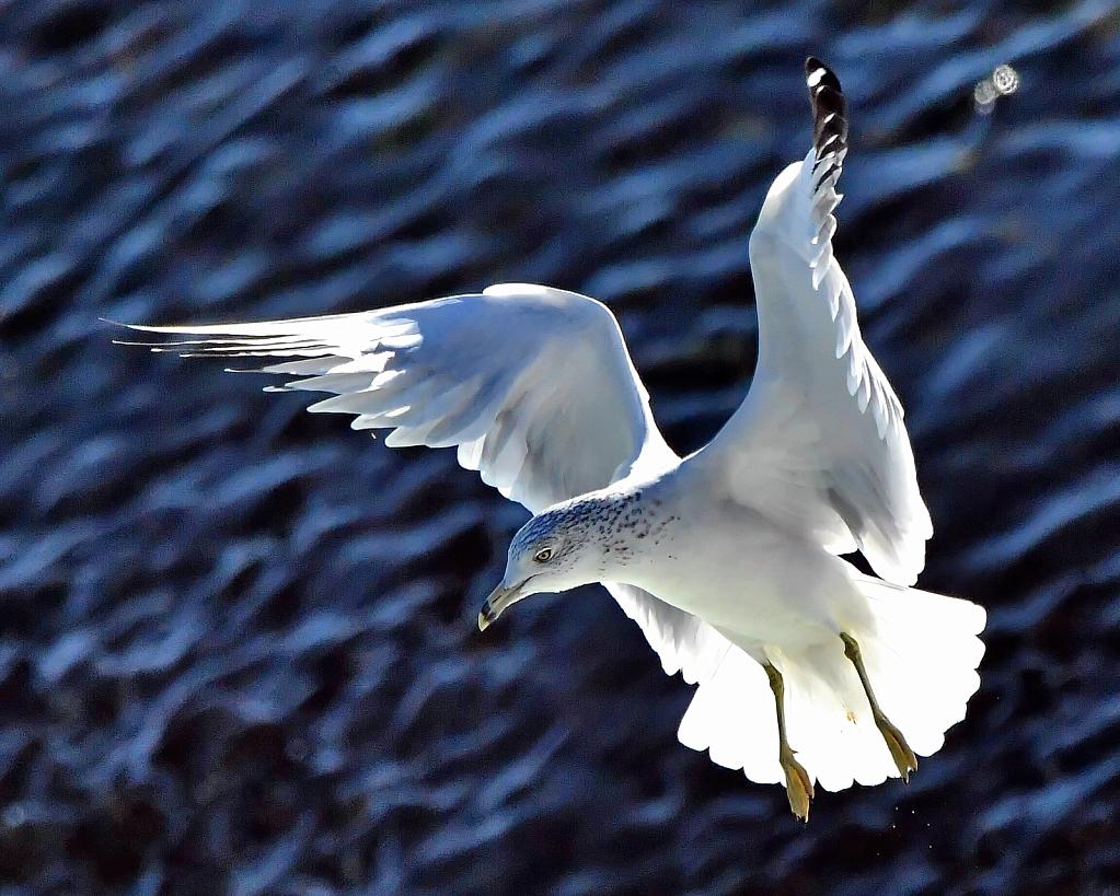 The Graceful Gull