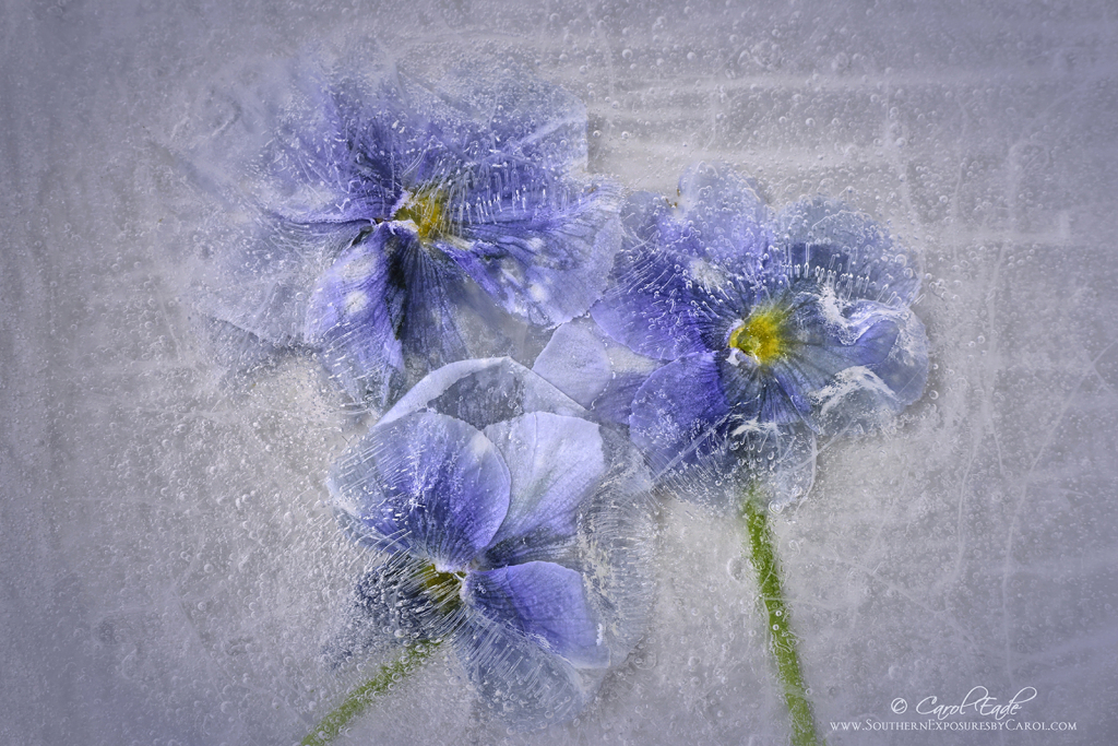 Pansies  in Ice