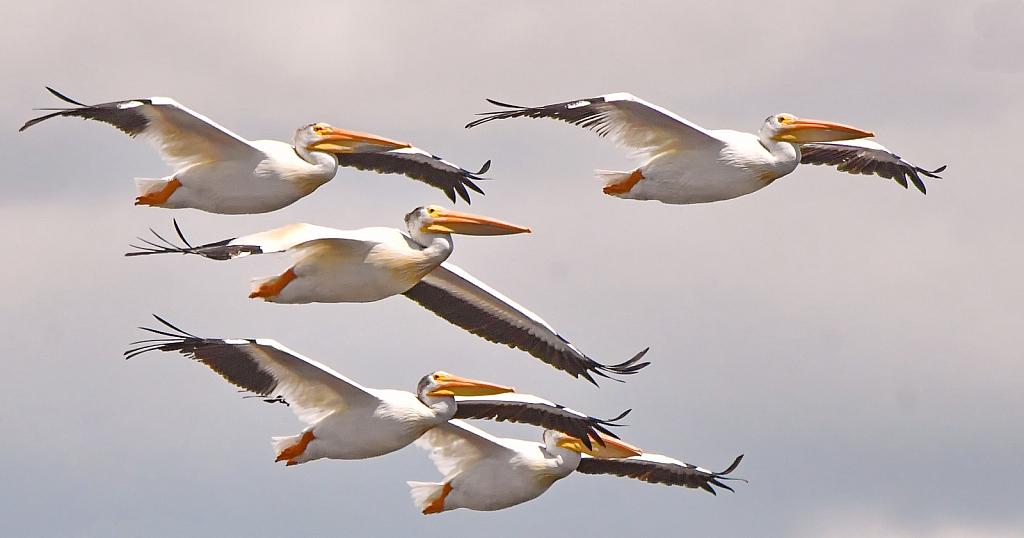 Phalanx of Pelicans