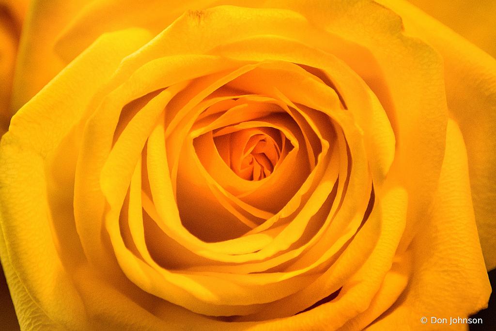 A Wonderful Yellow Rose 2-23-21 002
