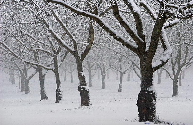 walnut snow