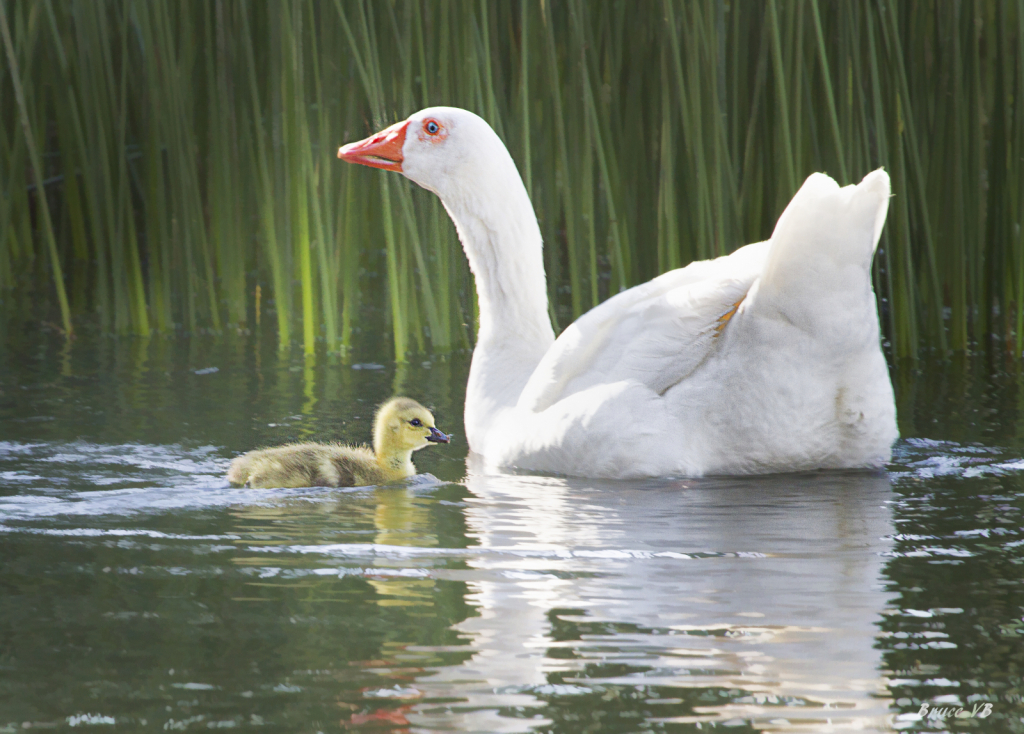 Protective white goose.