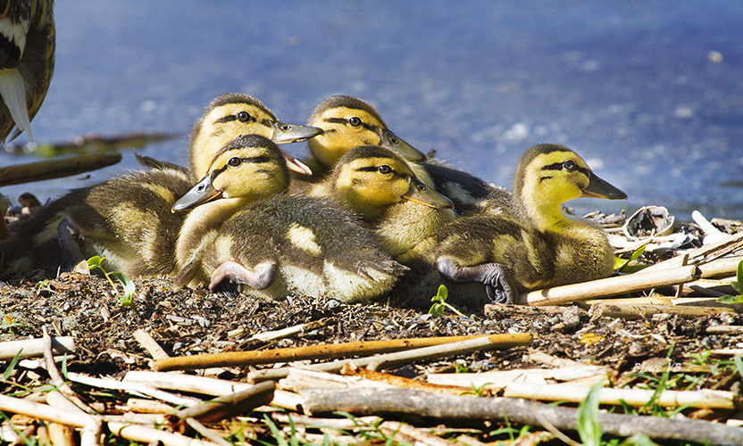 Ducks protected by mom.