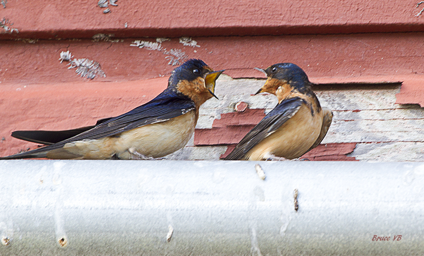 Barn Swallow argument.