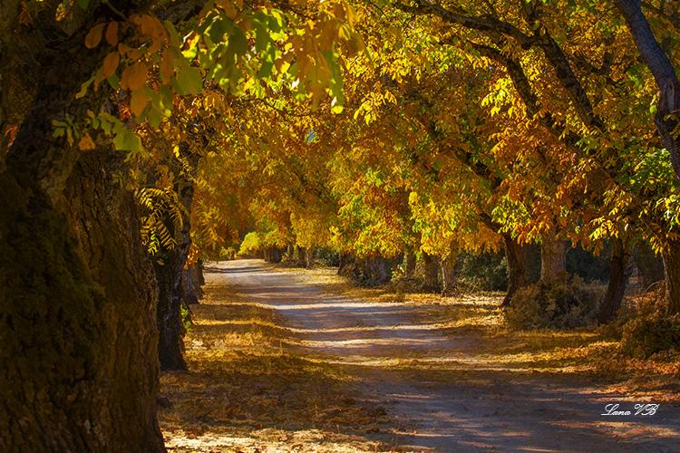 Walnuts in fall.