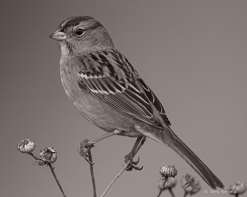 White-crowned Sparrow B&W