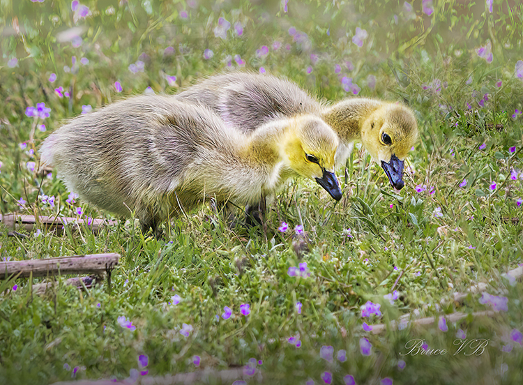 Flowers with Canada Gosling