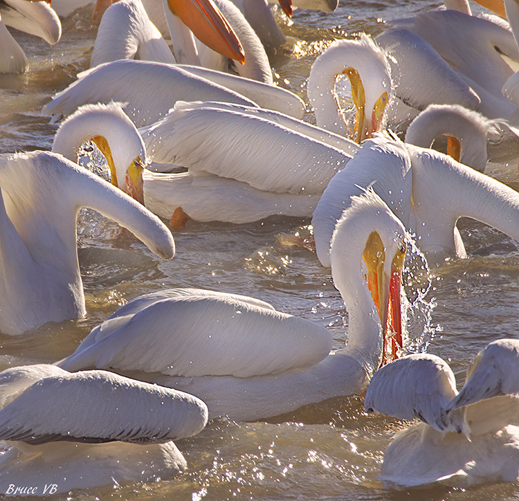 Community of Pelicans with successful hunt