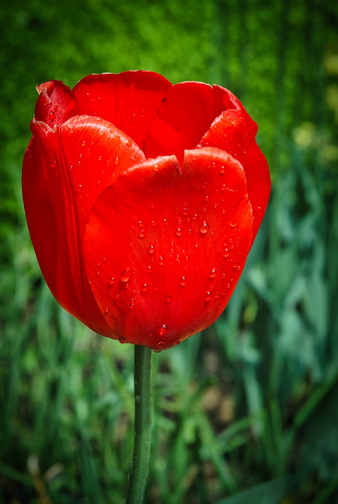 One Red Tulip