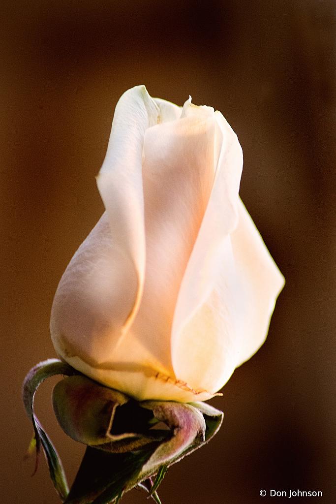 A Lovely Rose Bud 3-13-21 031