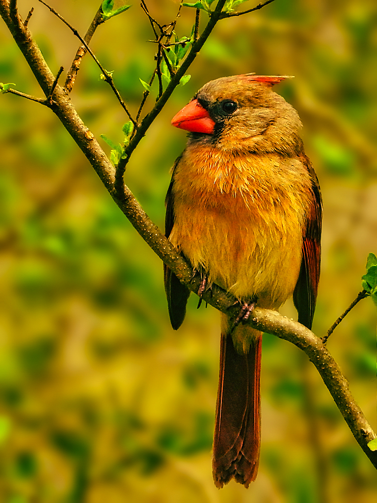 Female Cardinal 2021 Photo Challenge (Day 12)