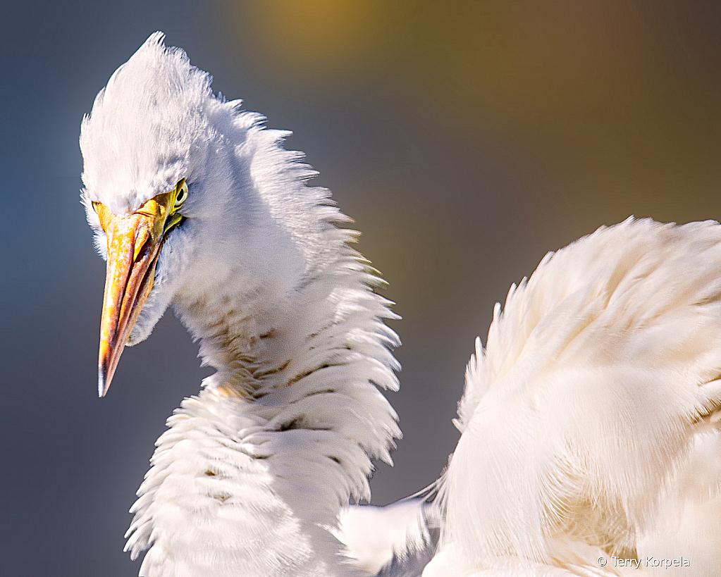 Pufffed Up Egret Portrait