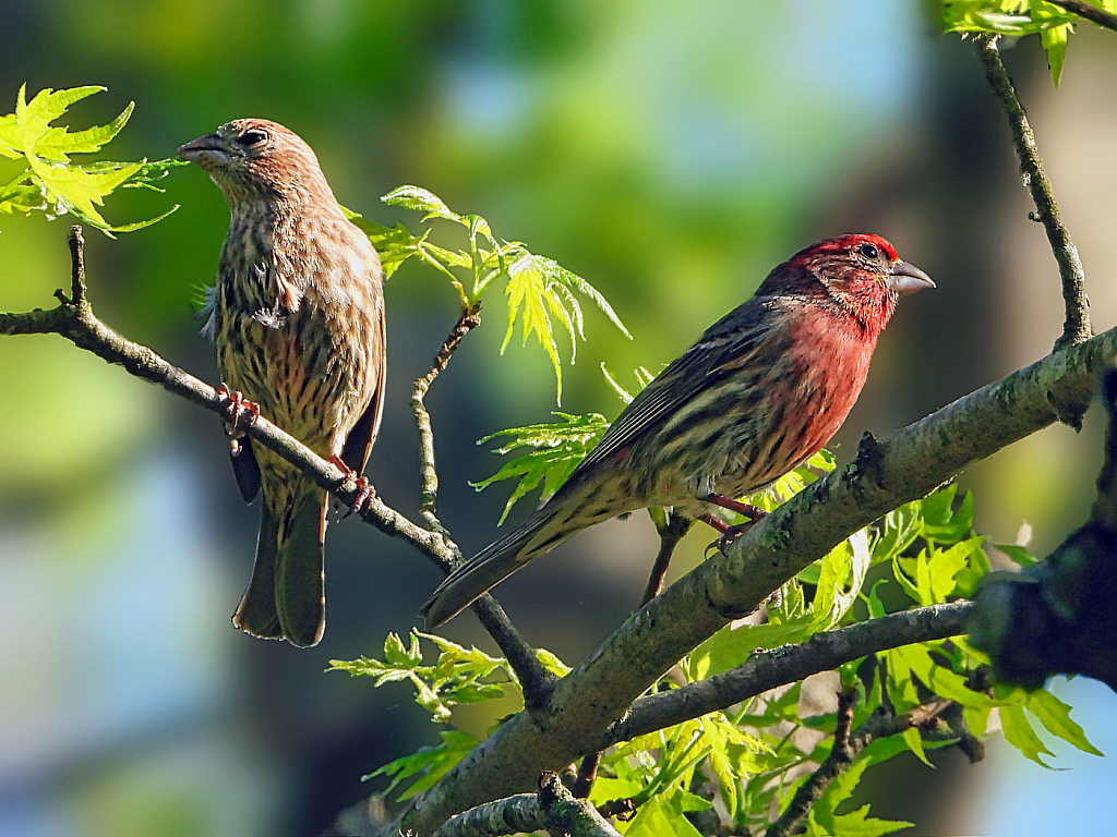 House Finches  2021 Photo Challenge  (Day 25)