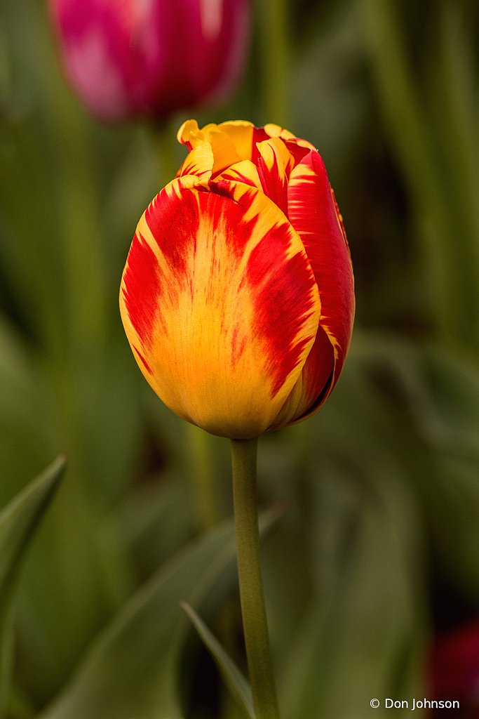 A Lovely Tulip 4-16-21 244