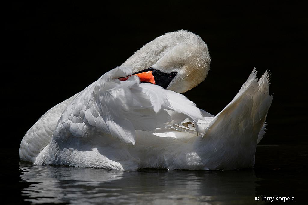 Mute Swan!