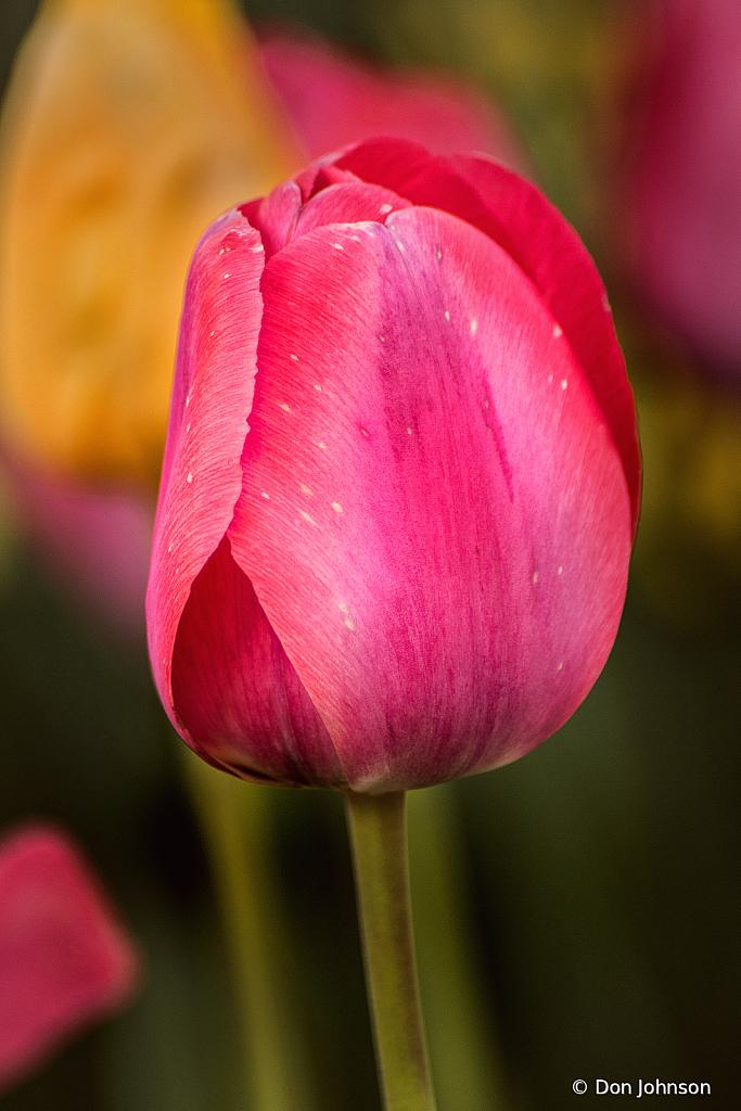Dark Pink Tulip 4-16-21 136