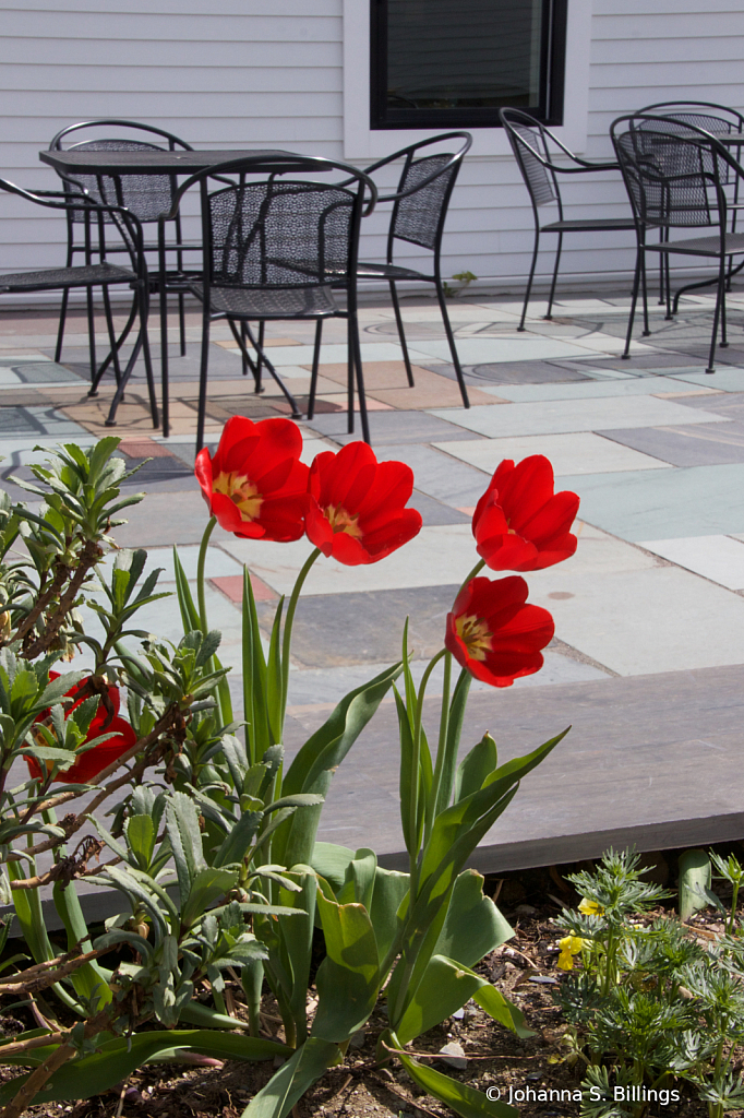 Monson Tulips