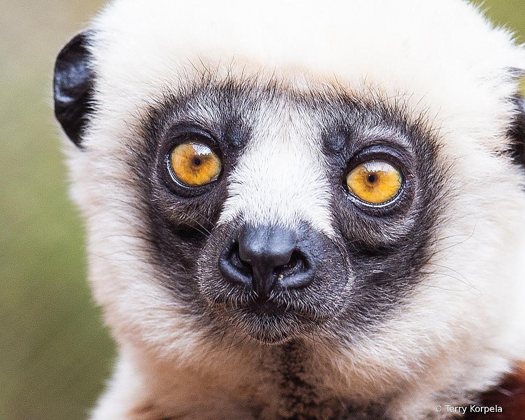 Coquerel's Sifaka (Medium Sized Lemur)