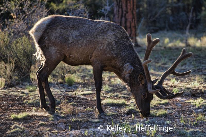 Buck Elk in Forest