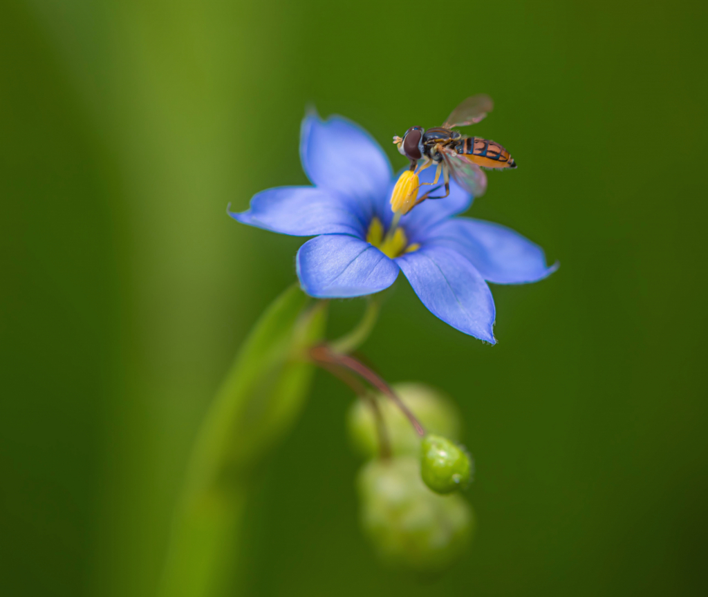 Hoverfly on a Wildflower