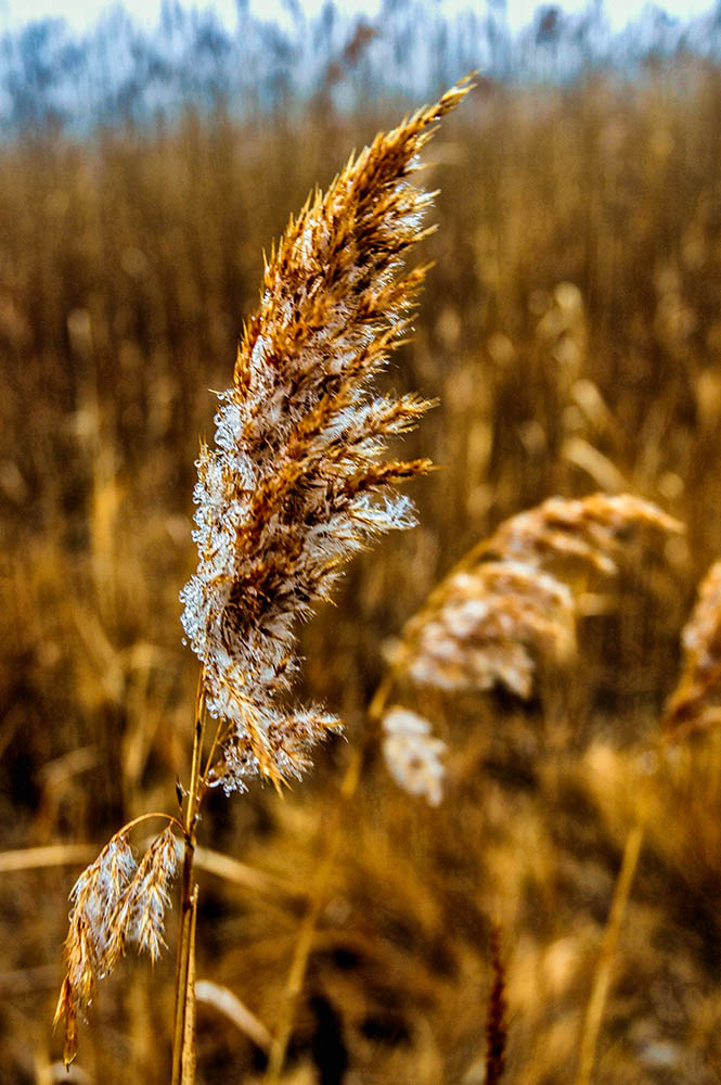 Frosted Sea Oats