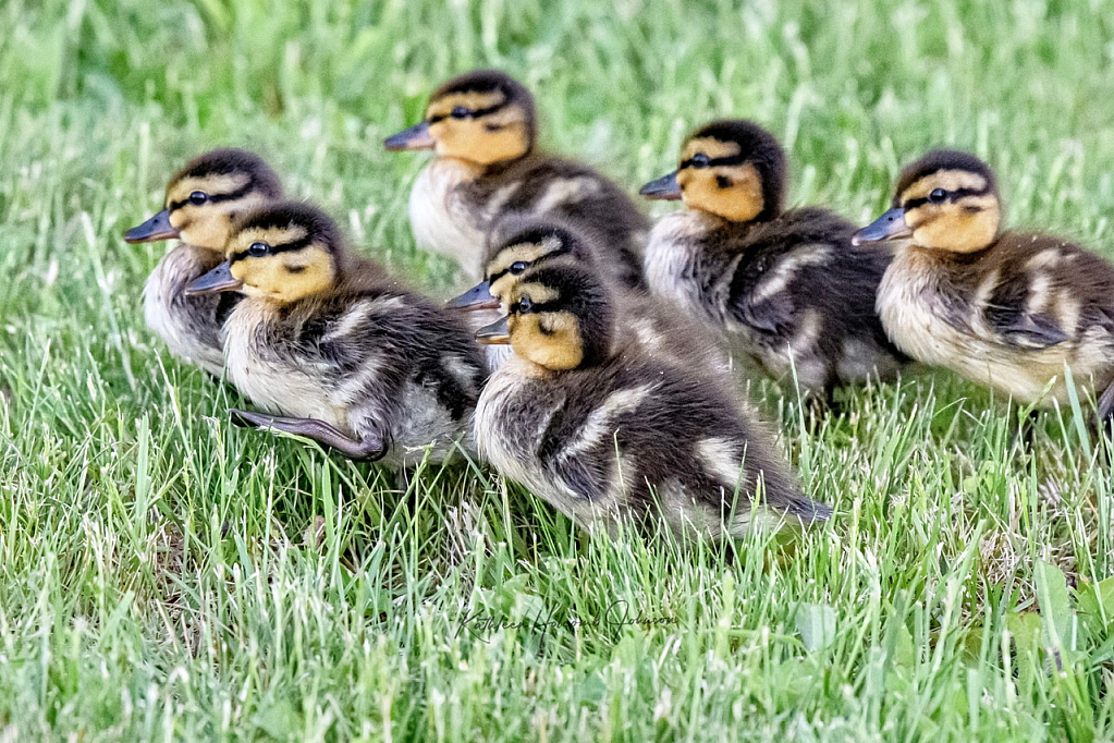 The March of Ducks is On!