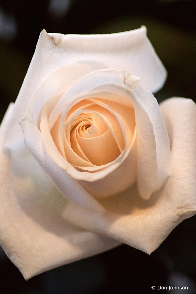 Wonderful White Rose 3-13-21 017