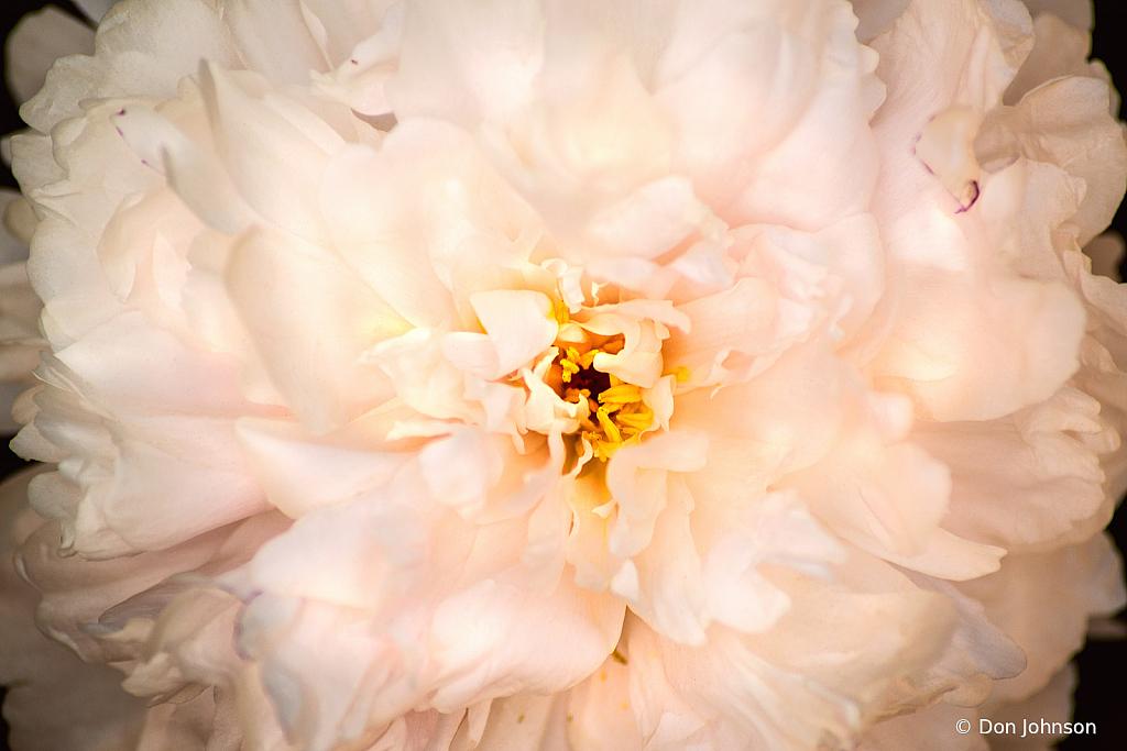 White Peony Close-Up 5-19-21 033