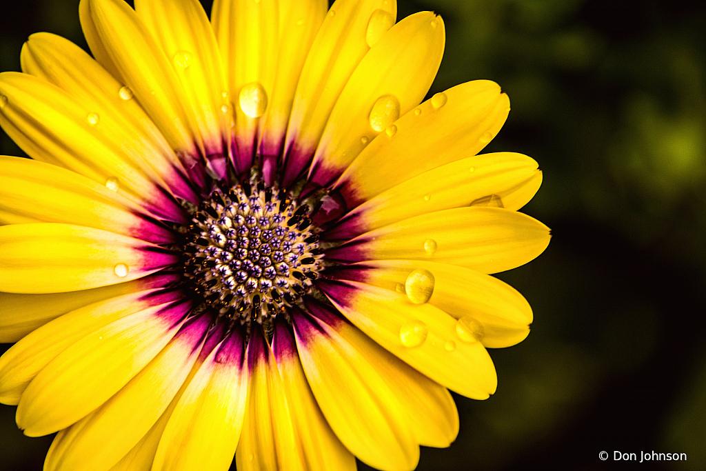 An Outstanding African Daisy 4-16-21 291