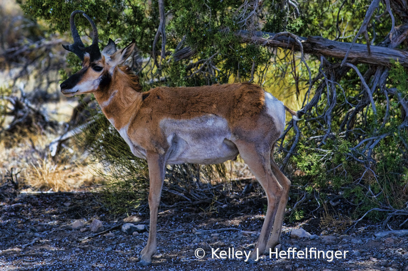 Profile of Male Pronghorn Antelope