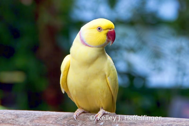 Perching Parakeet