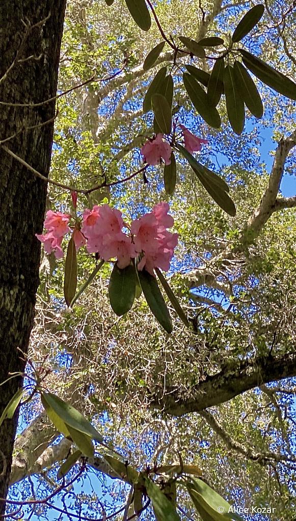 Highwire Camellias