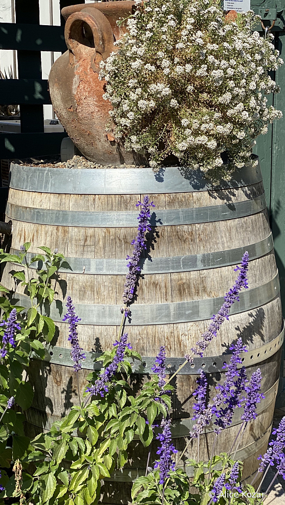Lavendar climbing up Barrel