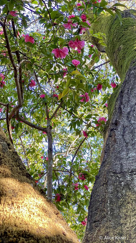 Upward gaze - Camellias between the tree trunks