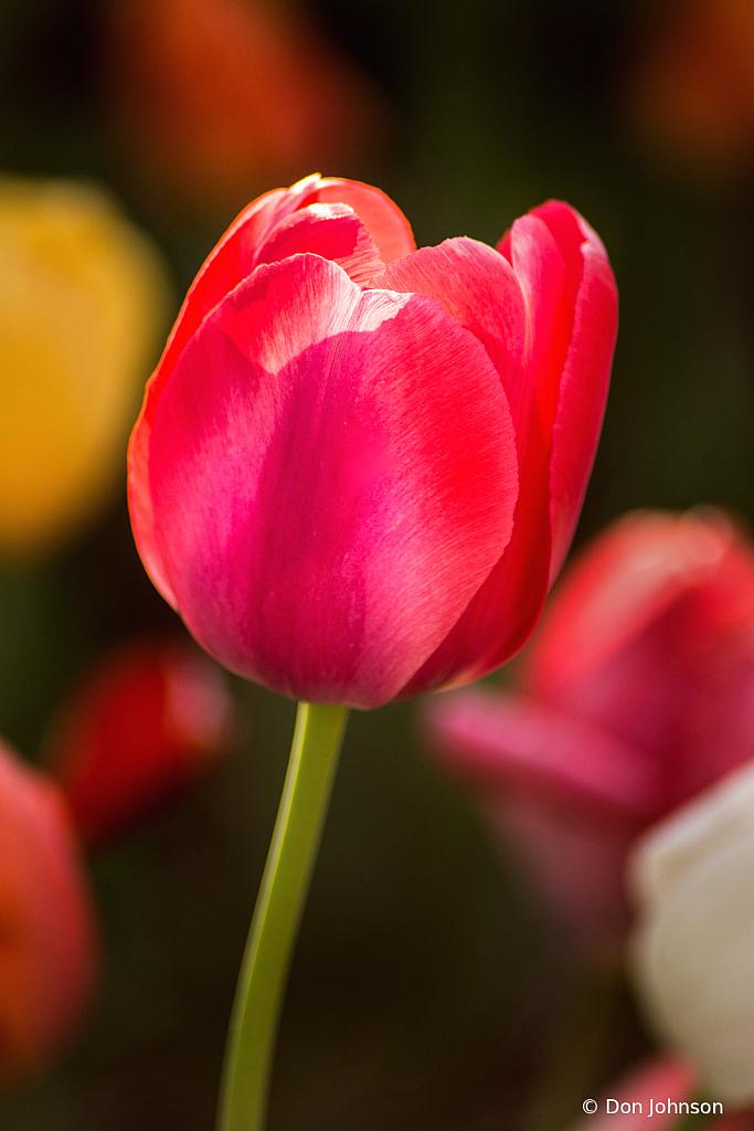 Spring Tulip 4-16-21 179