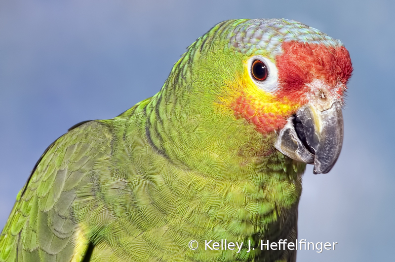 Portrait of Red Crowned Parrot