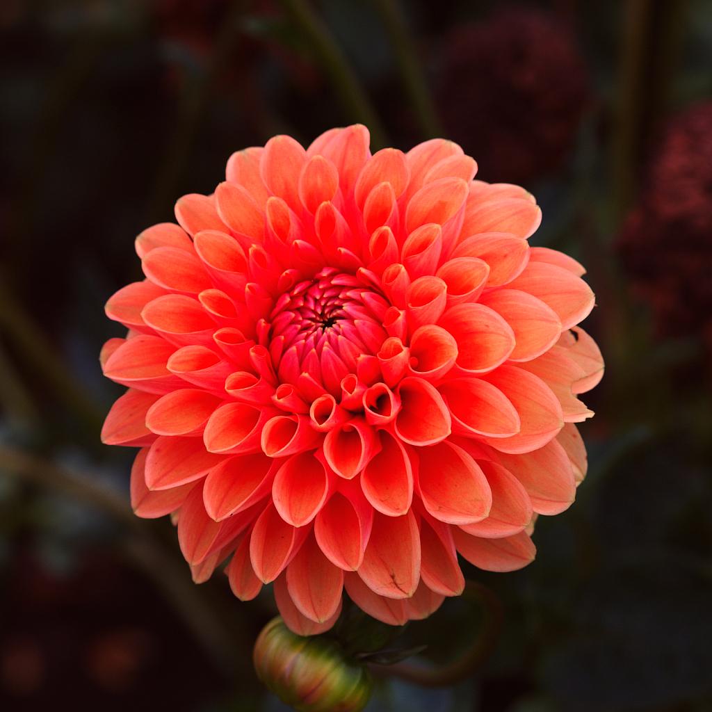 2017 Flower Dahlia