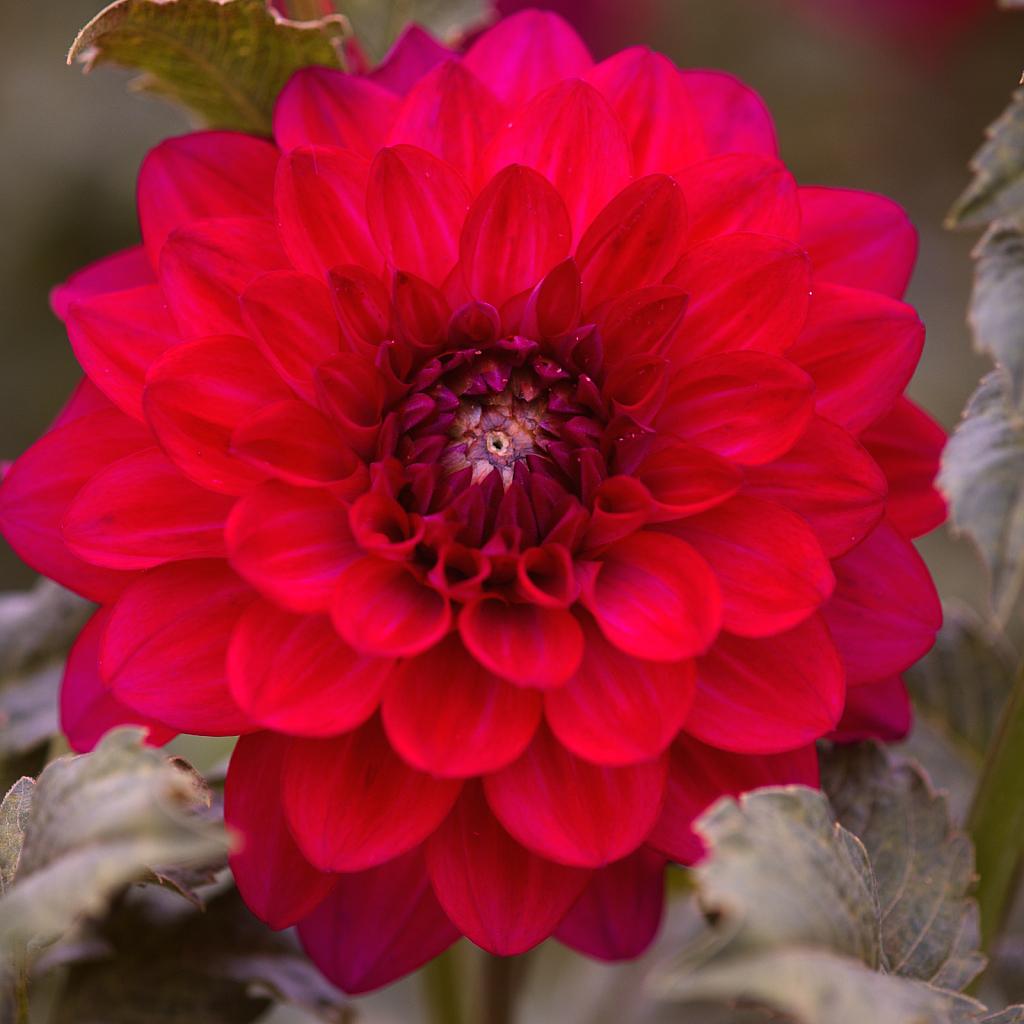 2017 Flower Dahlia 2