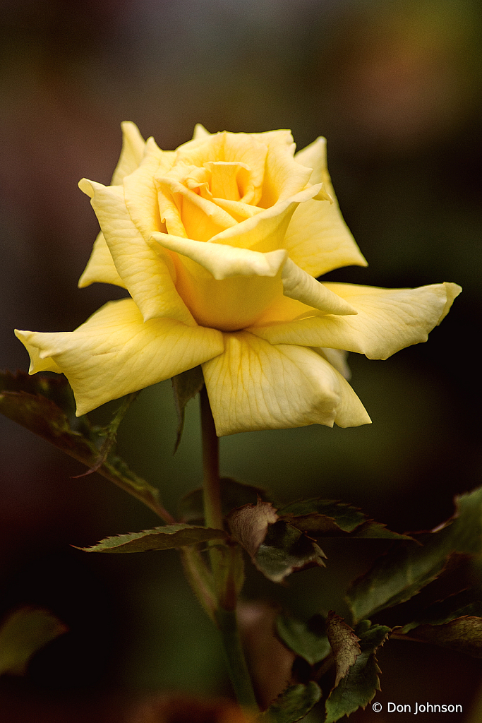 Yellow Rose 10-10-21 034