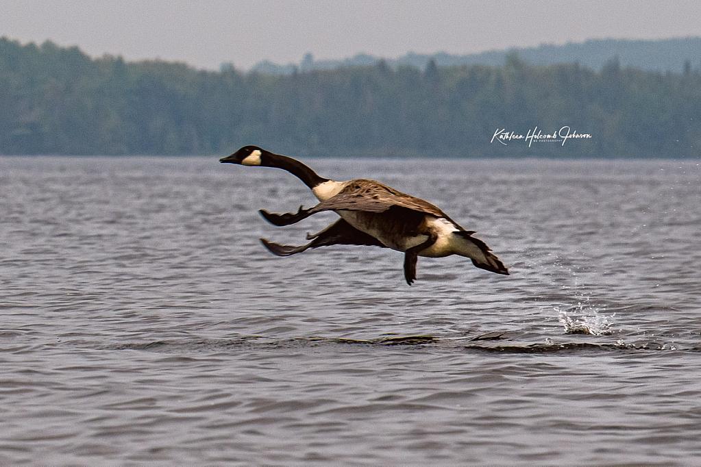 Canadian Goose - Walking On Water!