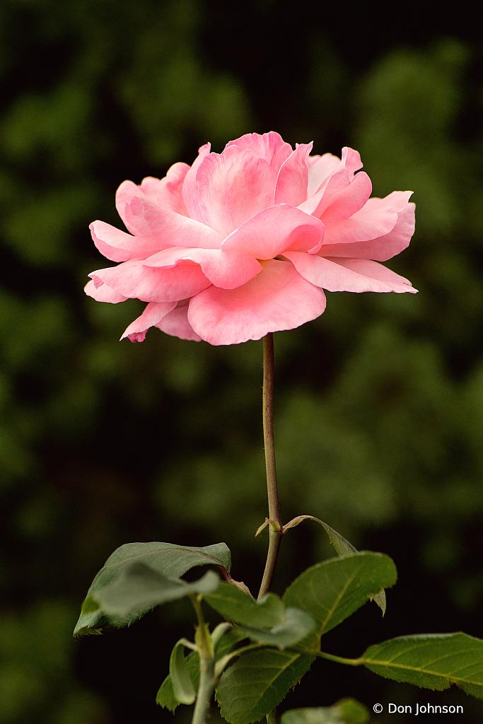 Pink Rose Profile 10-10-21 062