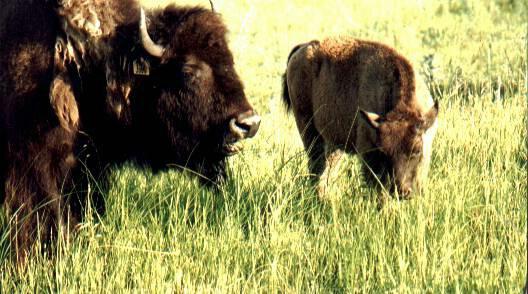 Buffalo and Calf