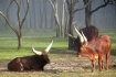 Ankole cattle in ...