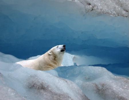 Polar Bear in Glacier Cave
