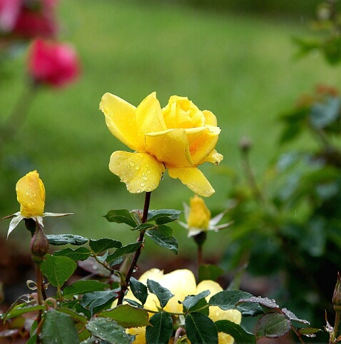 Yellow Rose - ID: 110546 © Zita A. Strother