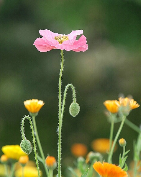 California Poppy - ID: 164904 © Zita A. Strother