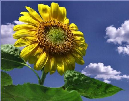 Sunflower on High