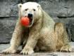 Polar popsicle