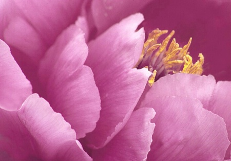 Petals of Pink
